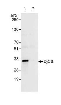 Immunoprecipitation - DjC8  antibody (ab86138)