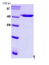 SDS-PAGE - PAI1 protein (His tag) (ab86181)