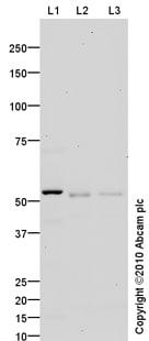 Western blot - Anti-Caspase-8 antibody (ab86296)