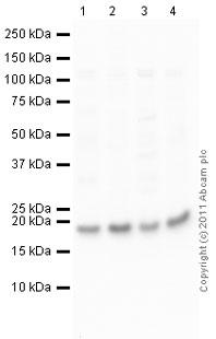 Western blot - Anti-RhoA antibody (ab86297)