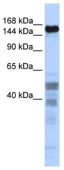 Western blot - NIF1 antibody (ab86323)