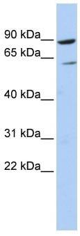 Western blot - PLCD1 antibody (ab86388)