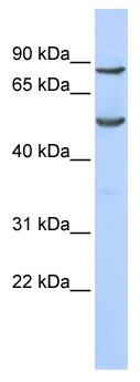 Western blot - POGK antibody (ab86391)