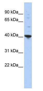 Western blot - PURA antibody (ab86534)