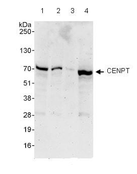 Western blot - CENPT antibody (ab86595)
