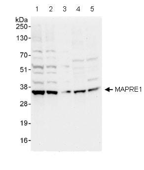 Western blot - MAPRE1 antibody (ab86598)