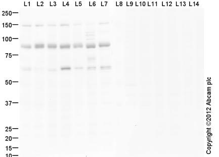 Western blot - Anti-Kif2a antibody (ab86655)