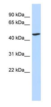 Western blot - BTNL3 antibody (ab87020)