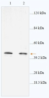 Western blot - ABHD12 antibody (ab87048)