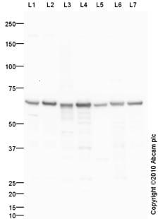 Western blot - Hsp60 antibody (ab87085)