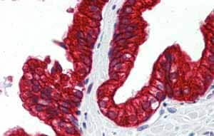 Immunohistochemistry (Formalin/PFA-fixed paraffin-embedded sections)-Anti-SP3 antibody(ab87091)