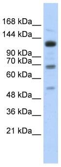Western blot - RFX1 antibody (ab87171)