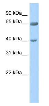 Western blot - ZNF234 antibody (ab87221)