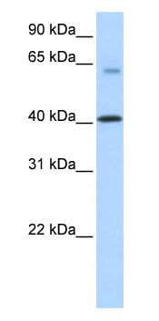 Western blot - TMEM195 antibody (ab87236)