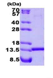 SDS-PAGE - HINT1 protein (Human) (ab87362)