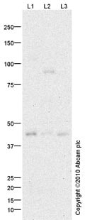 Western blot - DC-SIGN antibody (ab87375)