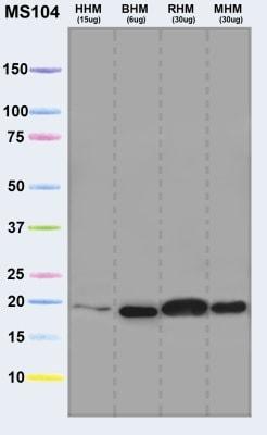 Western blot - Ndufs4 antibody [2C7CD4AG3] (ab87399)