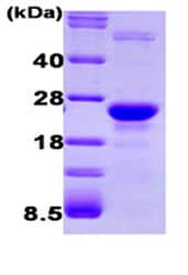 SDS-PAGE - GLO1 protein (Human) (ab87413)
