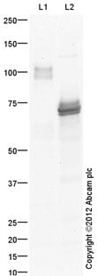 Western blot - Anti-Bile salt-activated lipase antibody (ab87431)