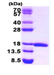SDS-PAGE - eIF5A protein (Human) (ab87457)