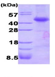 SDS-PAGE - Dysbindin protein (His tag) (ab87462)