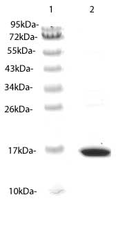 SDS-PAGE - CX3CL1 protein (His tag) (ab87480)