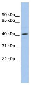 Western blot - ANGPTL5 antibody (ab87592)
