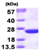 SDS-PAGE - CDC42 protein (T7 Tag) (ab87713)