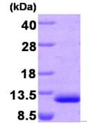 SDS-PAGE - MDC protein (His tag) (ab87715)