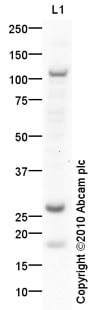 Western blot - THAP10 antibody (ab87725)