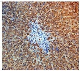 Immunohistochemistry (Formalin/PFA-fixed paraffin-embedded sections) - Angiopoietin 4 antibody (ab87877)