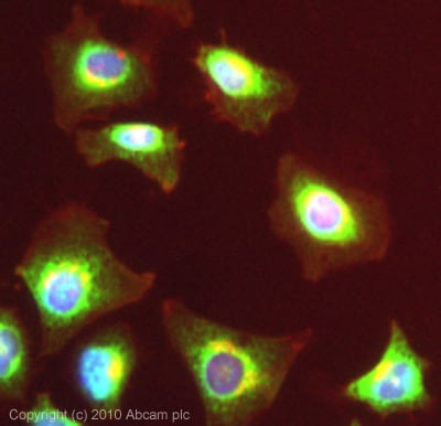 Immunocytochemistry/ Immunofluorescence - GRP94 antibody (ab87886)