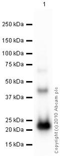 Western blot - Interferon alpha 2b antibody (ab87900)