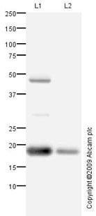 Western blot - Anti-Myoglobin antibody (ab88055)