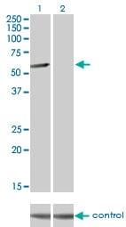 Western blot - CLK3 antibody (ab88135)