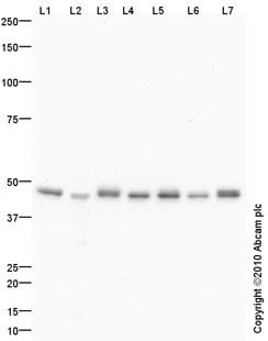Western blot - EBP50 antibody (ab88238)