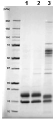 SDS-PAGE - VEGF 121 protein (Active) (ab88348)