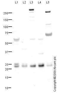 Western blot - PGRMC1 antibody (ab88381)