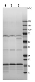 SDS-PAGE - FGF basic protein (Active) (ab88394)