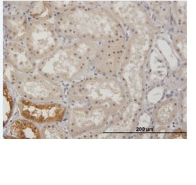 Immunohistochemistry (Formalin/PFA-fixed paraffin-embedded sections) - Glycerol kinase antibody (ab88505)