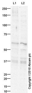 Western blot - NFIL3 antibody (ab88526)