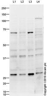 Western blot - KLF13 antibody (ab88536)