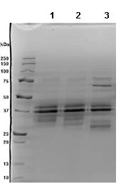 SDS-PAGE - IL12 protein (Active) (ab89013)