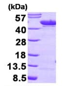SDS-PAGE - ENO1 protein (Human) (ab89248)