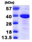 SDS-PAGE - MAT2B protein (Human) (ab89357)