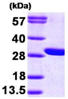 SDS-PAGE - GAMT protein (His tag) (ab89360)