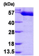 SDS-PAGE - PKM2 protein (His tag) (ab89364)