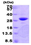SDS-PAGE - PNMT protein (Human) (ab89368)
