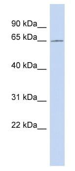 Western blot - CCDC63 antibody (ab89730)