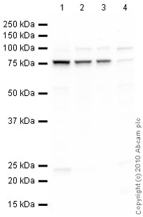 Western blot - GRP78 BiP antibody (ab89789)